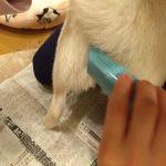 犬用バリカンでお尻の毛をカット