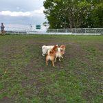 盛岡中央公園ドッグランに柴がいっぱい
